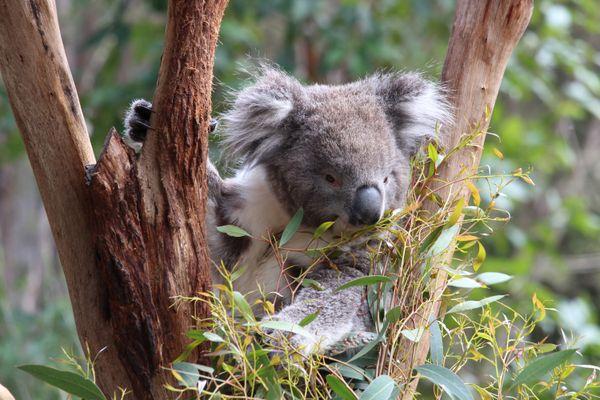 Koala Munching on Leaves thumbnail
