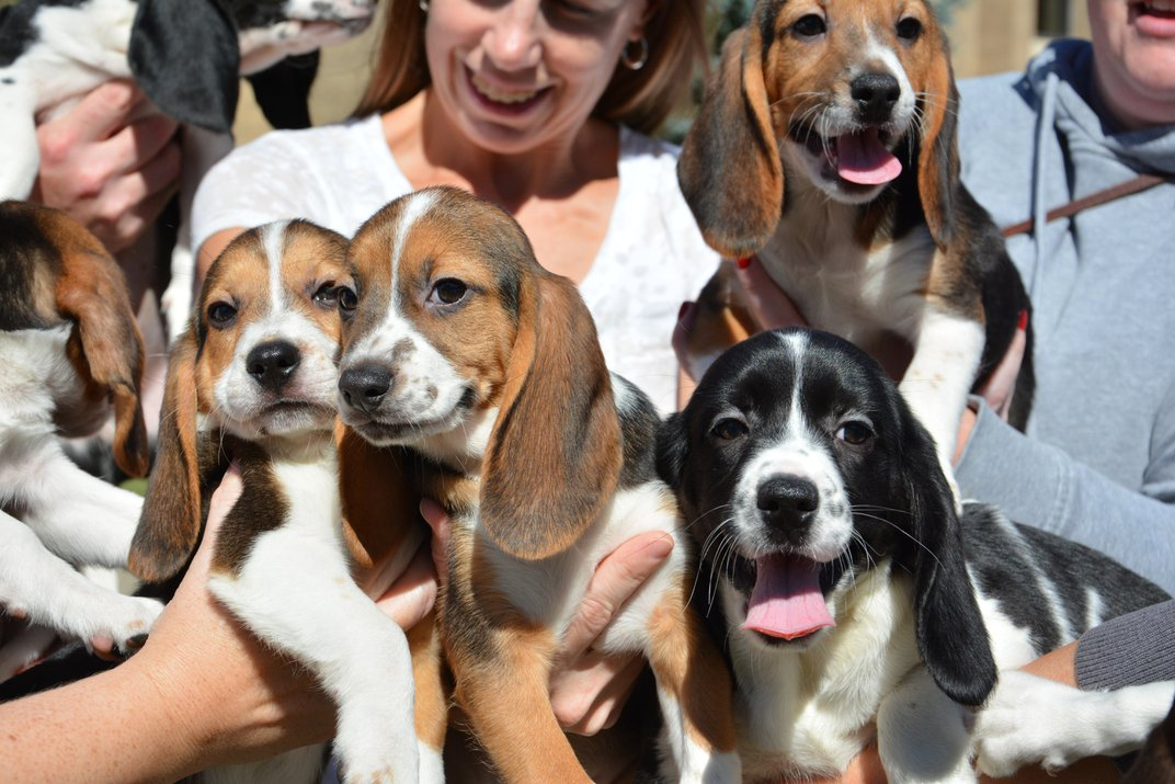 These Baby Beagles Are the First Dogs Born by In Vitro Fertilization