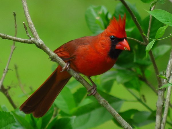 Red Bird waiting his turn to eat seed thumbnail