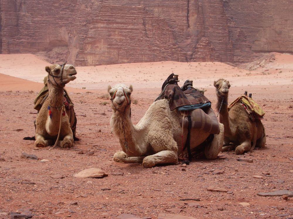 02_11_2014_camels.jpg