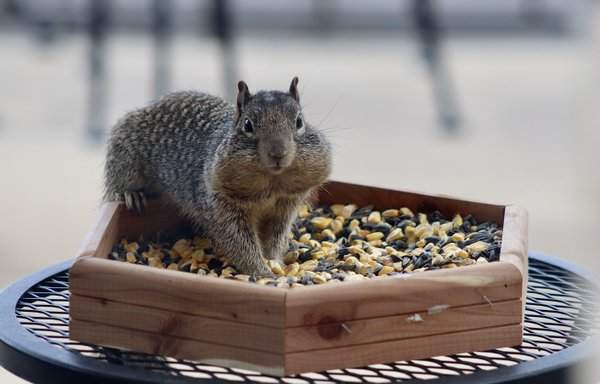 A rock squirrel taking advantage of a food offering thumbnail
