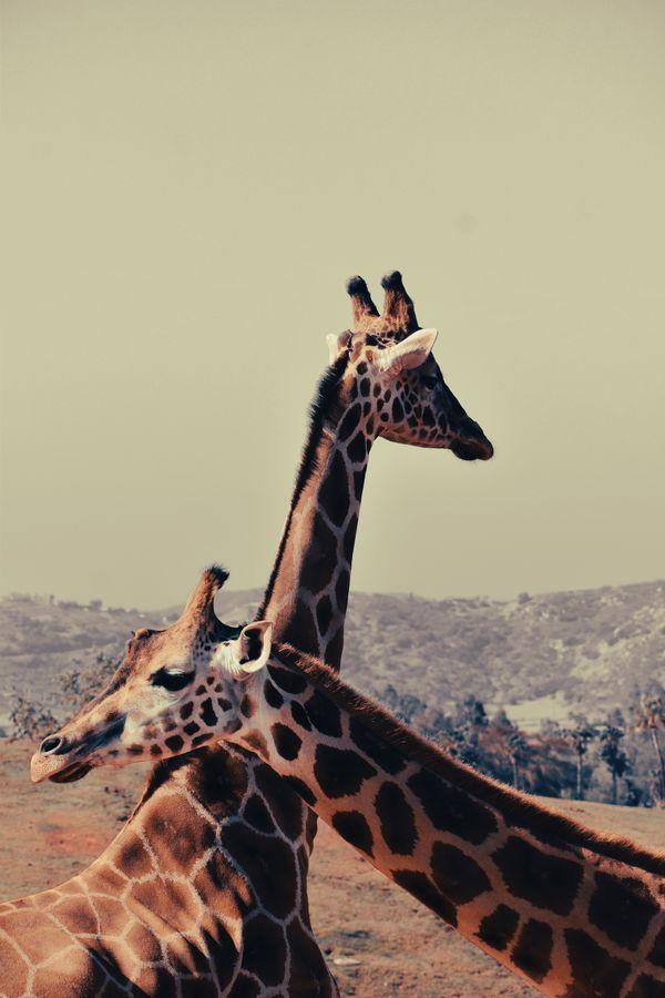 Polaroid Giraffes thumbnail
