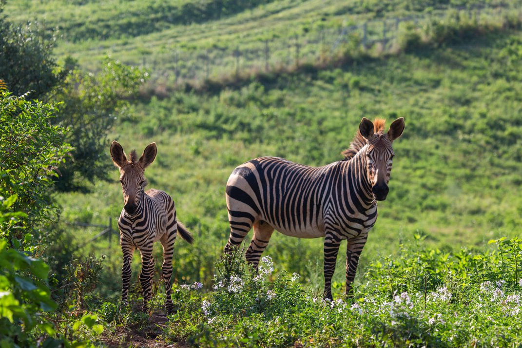An adult female Hartmann's mountain zebra stands near her young colt in a grassy yard.