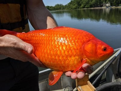 A 2018 estimate suggests 50 million giant goldfish may swim in Lake Ontario.