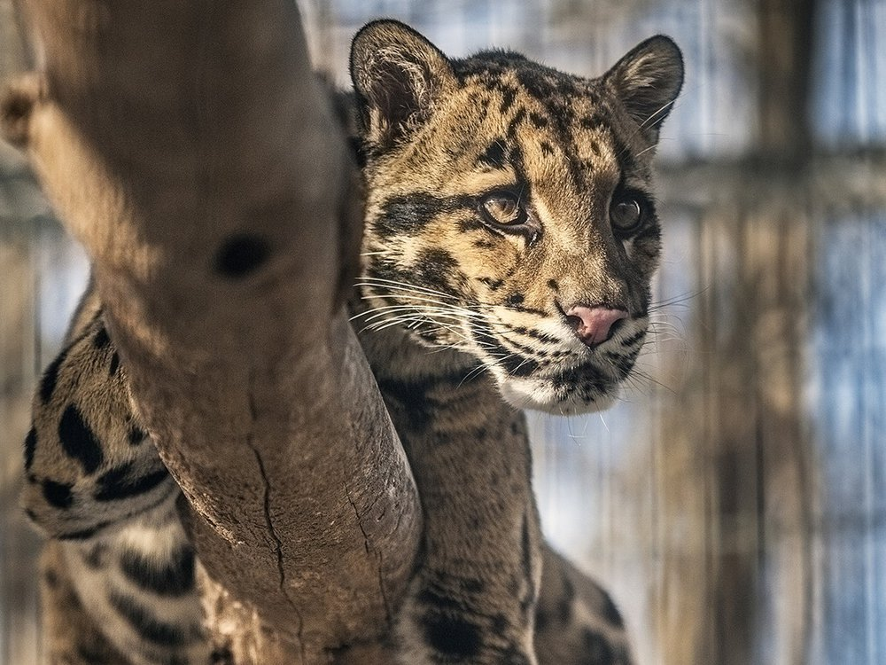 Take a virtual field trip to the Smithsonian Conservation Biology Institute to see clouded leopards in a National Museum of Natural History Program streaming Jan 13. (Smithsonian)