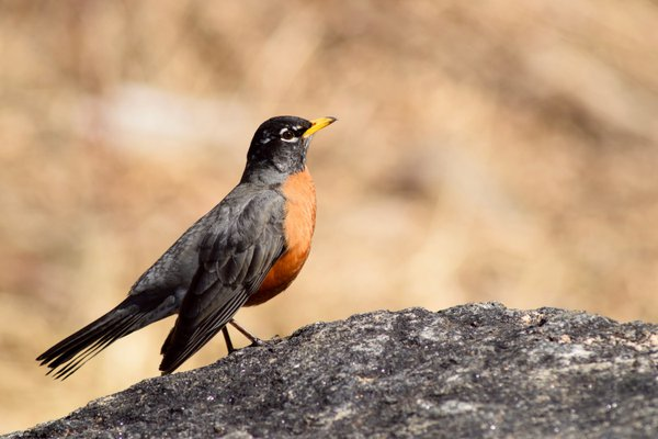 A robin sitting on a rock in Colorado thumbnail