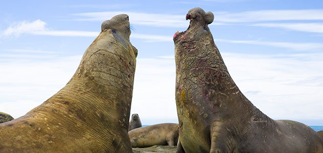 Big Southern elephant seal bulls