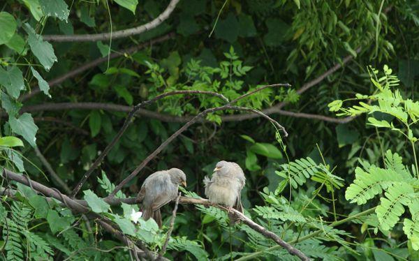 Bird Couple. thumbnail