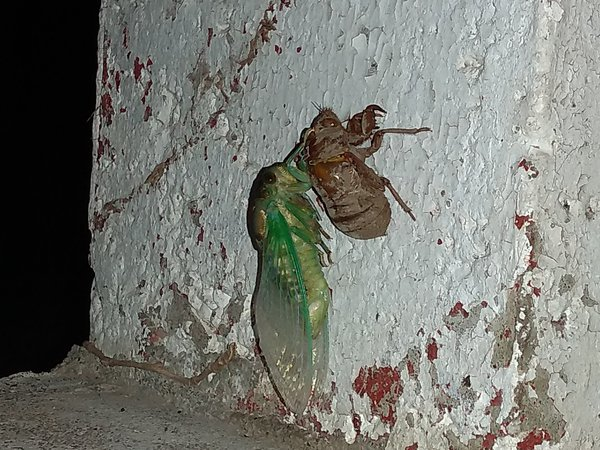 Freshly molted green cicada thumbnail