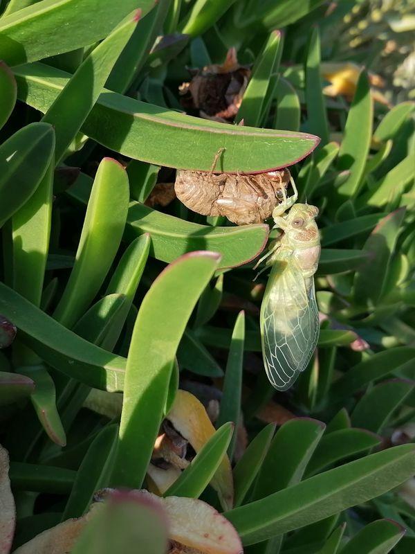 Rebirth of Cicada thumbnail