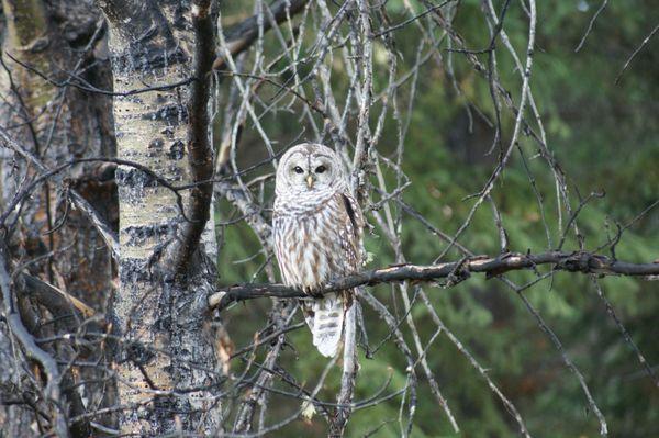 I don't give a Hoot said the Owl thumbnail