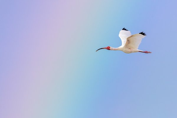 A White Ibis flies in front of a rainbow.