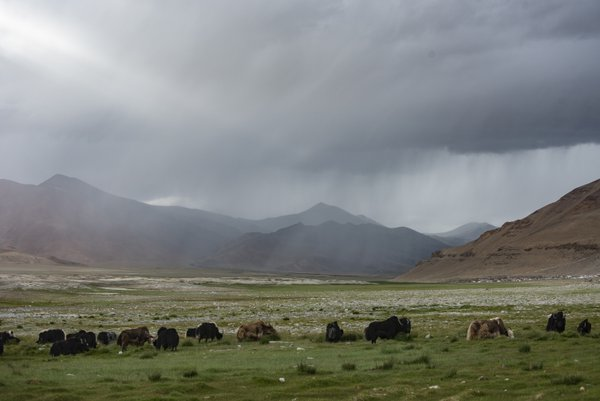 Yak grazing in the rain thumbnail
