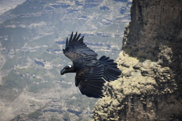 Thick-billed raven in Simien Mountains thumbnail