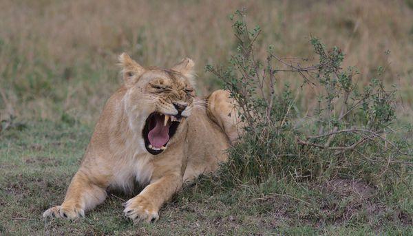 Lion yawns thumbnail