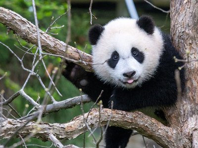 One year ago, the Smithsonian's National Zoo welcomed Xiao Qi Ji—a precious giant panda born in the midst of a global pandemic.