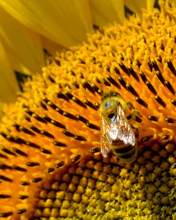 Iridescent Wings of a Honeybee on a Sunflower thumbnail