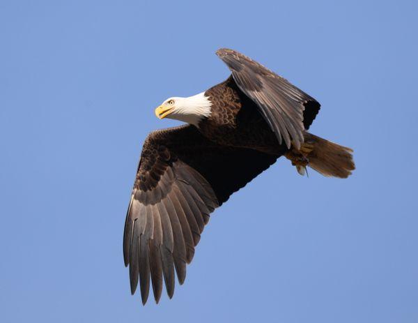 A Bald Eagle thumbnail