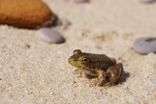 Frog in the Sand thumbnail