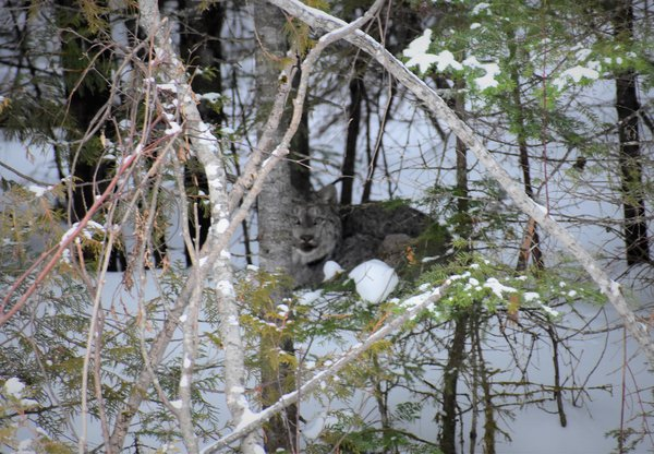 Large Lynx encountered in North Maine Woods thumbnail