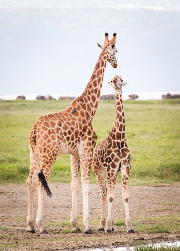 A mother giraffe and her calf have a moment at Lake Nakuru thumbnail