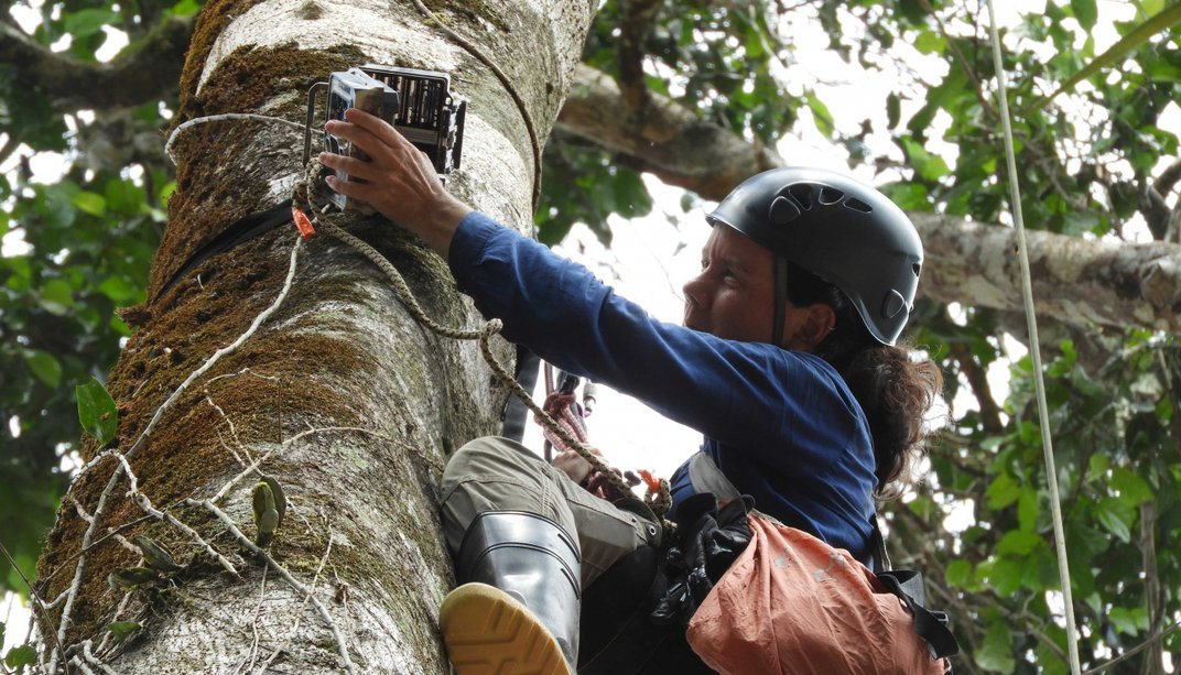 Conservation biologist Tremie Gregory attaches a camera trap to a large branch in the canopy of Peru's rainforest.