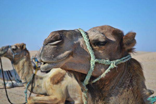 The camel in the desert thumbnail