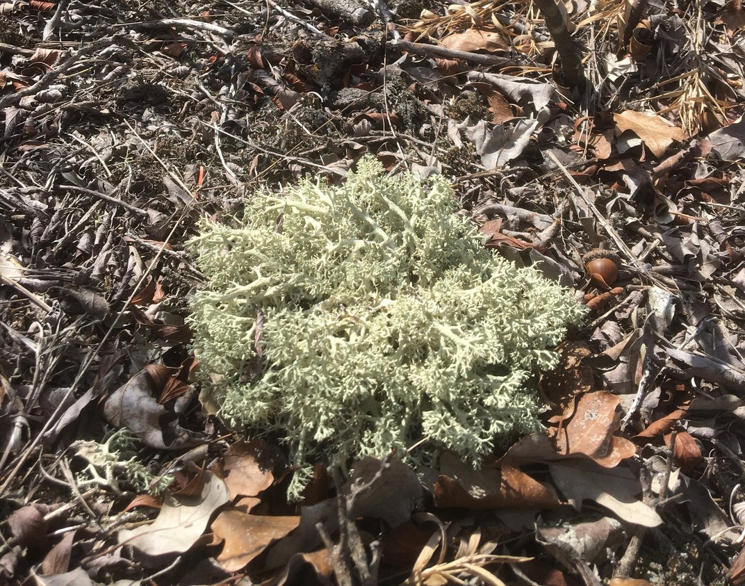 On the Hunt for Unloved, Unstudied, Yet Super Important Lichen
