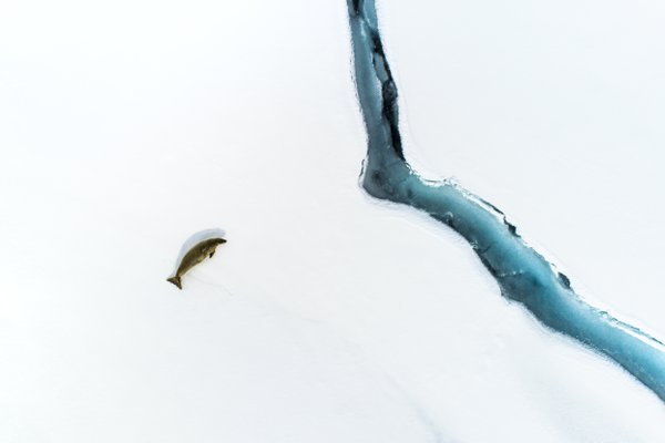 Lonely Crabeater seal thumbnail