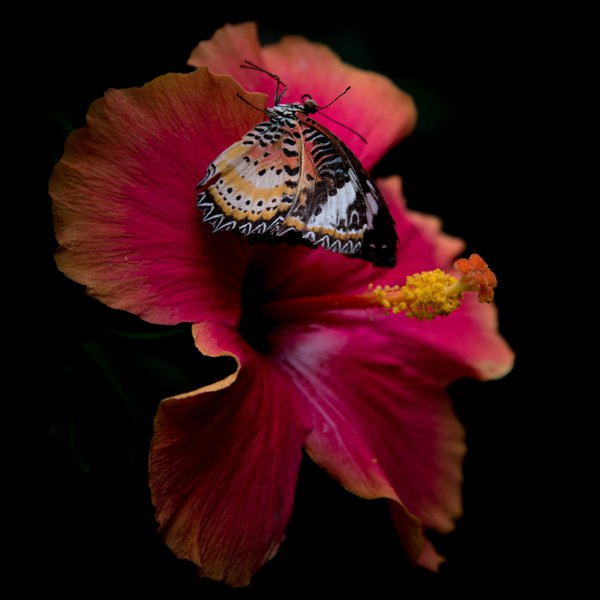 Hibiscus Black Butterfly thumbnail