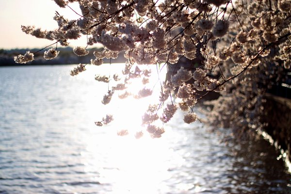 Cherry blossoms over the sparkling water as the sun sets. thumbnail