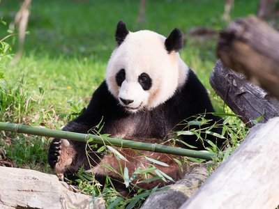 The sperm, taken from a nine-year old panda named Hui Hui will be used to impregnate the Zoo's 16-year-old female panda Mei Xiang (above).