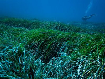 Researchers estimate this seagrass found in the Mediterranean could trap about 867 million plastic pieces per year in coastal areas.