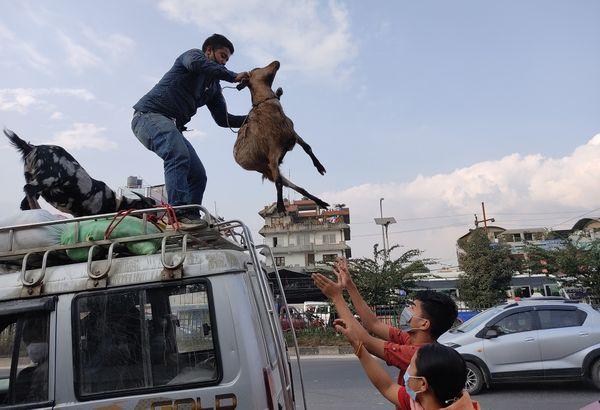 bullock's last trip to Kathmandu valley thumbnail
