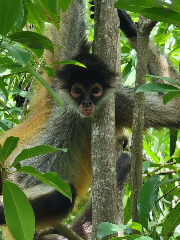 Monkey in Riviera Maya thumbnail