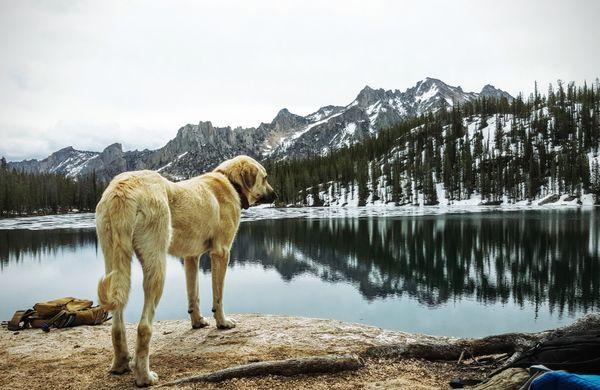 Kangal dog over looking alpine lake Idaho  thumbnail