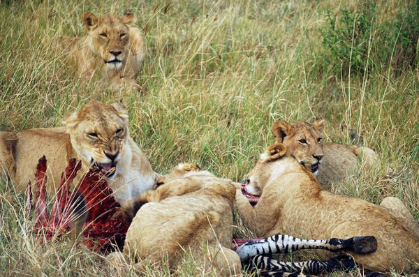 Lion cubs feast on zebra, Ngorongoro Crater, Tanzania. thumbnail