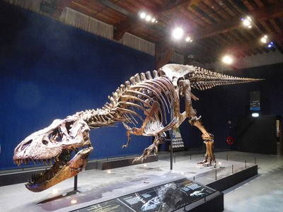 """To calculate how the tail propelled the T. rex, the researchers scanned and modeled an adult T. rex specimen at the Naturalis Biodiversity Center in Leiden known as """"Trix,"""" pictured here."""