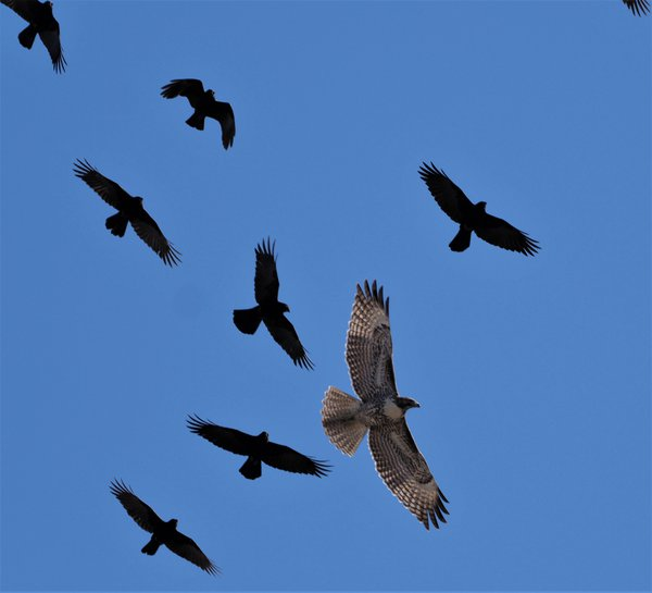 Hawk being attacked by Crows thumbnail