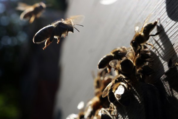 A honeybee comes in for hive landing close-up thumbnail