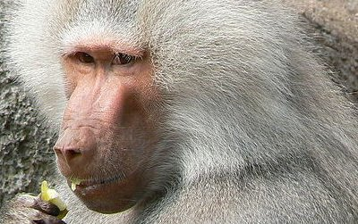 Hamadryas baboons live in complex, multilevel societies. A pair of anthropologists say Homo erectus did, too.