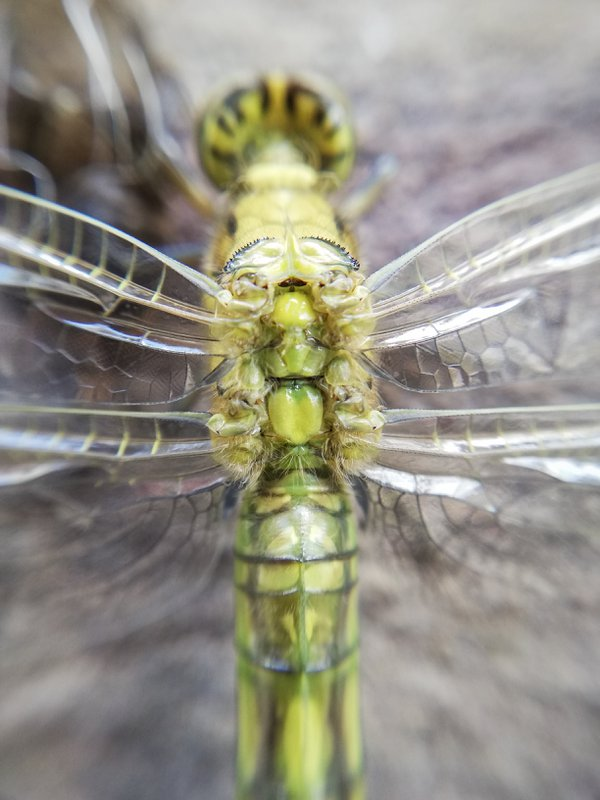 The birth of a dragonfly in macro - wings step thumbnail