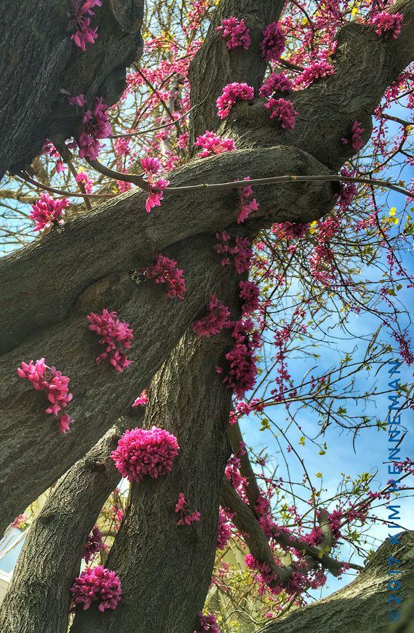 Flowering Western Redbud tree thumbnail