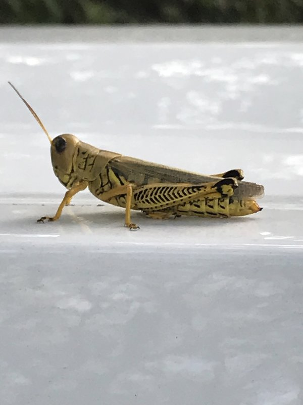 A grasshopper on the white truck in a trail park. thumbnail