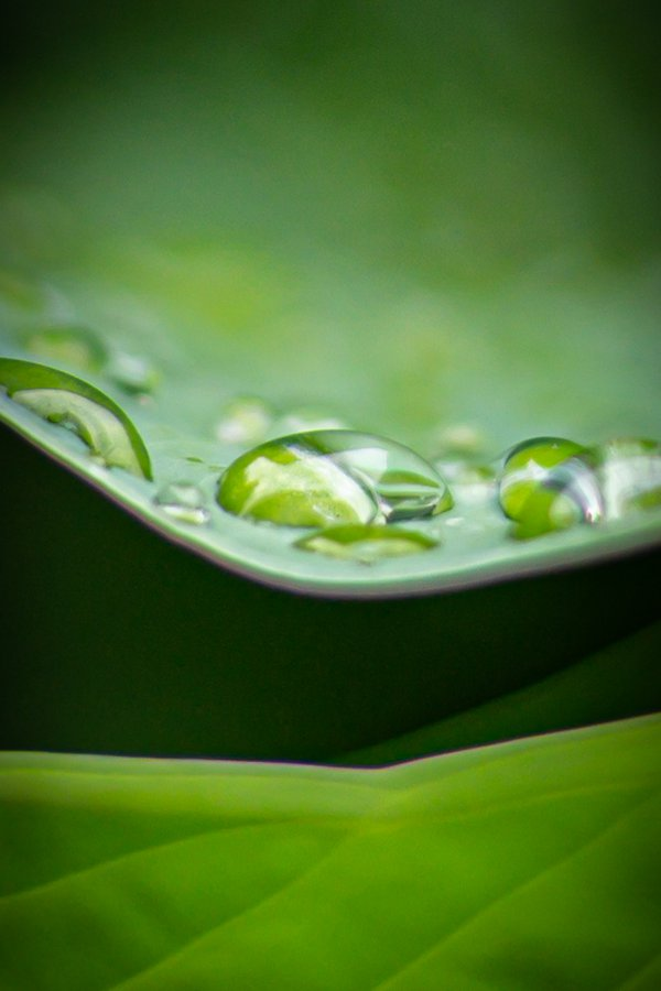 Water drops on the edge of a giant hosta leaf thumbnail