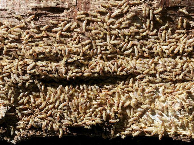 20120727105006termites.jpg