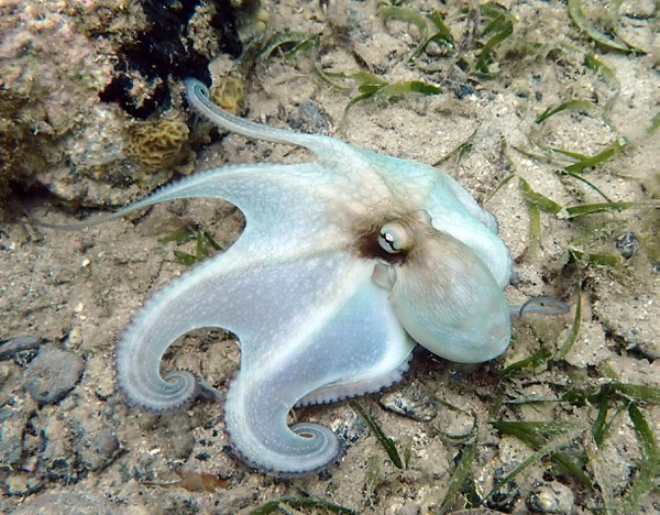 A Common Octopus thumbnail