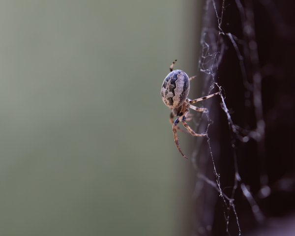 A spider clings to his web with precision and speed. thumbnail