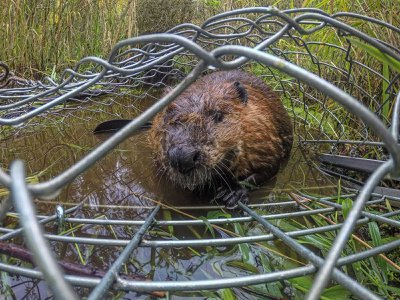 A beaver peers out of a Hancock live trap after being captured by Molly Alves, a biologist with the Tulalip Tribe in Washington.