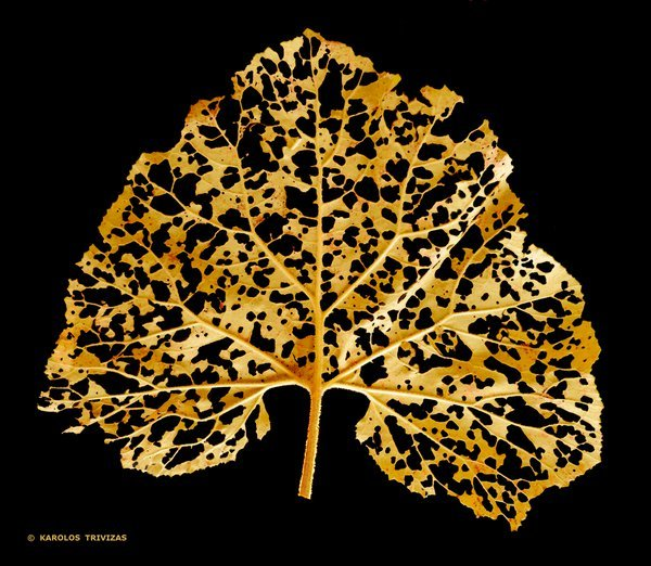 DECOMPOSITION : A fallen leaf with shining golden tones during the decomposition process. thumbnail